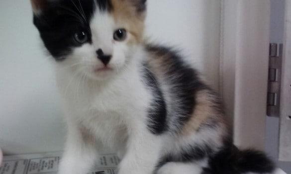 Female Calico Born 7-19-14