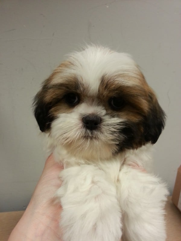 shih-tzu-female