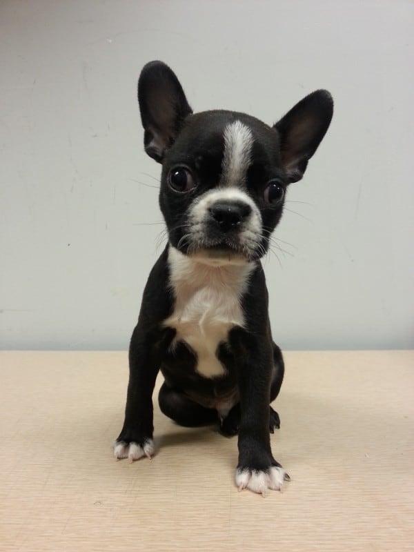 boston-terrier-male