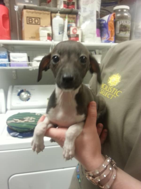 italian-greyhound