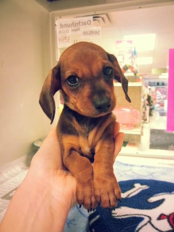 min-dachshund
