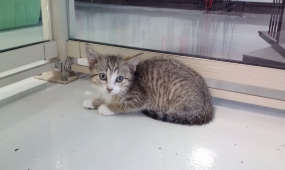 Male Tabby with White