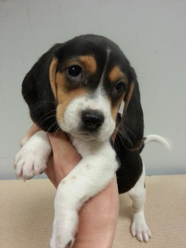 Beagle-Male
