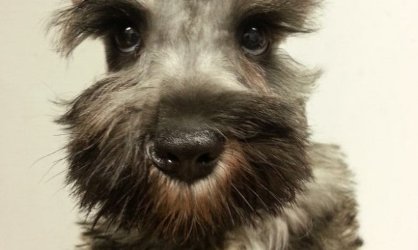Mini-Schnauzer_male-use-this-one