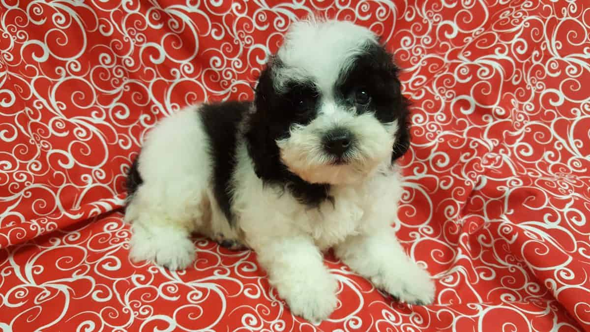 Shih-Poo-Sold!