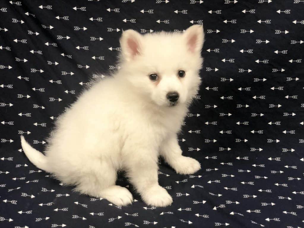 Mini American Eskimo-Sold!