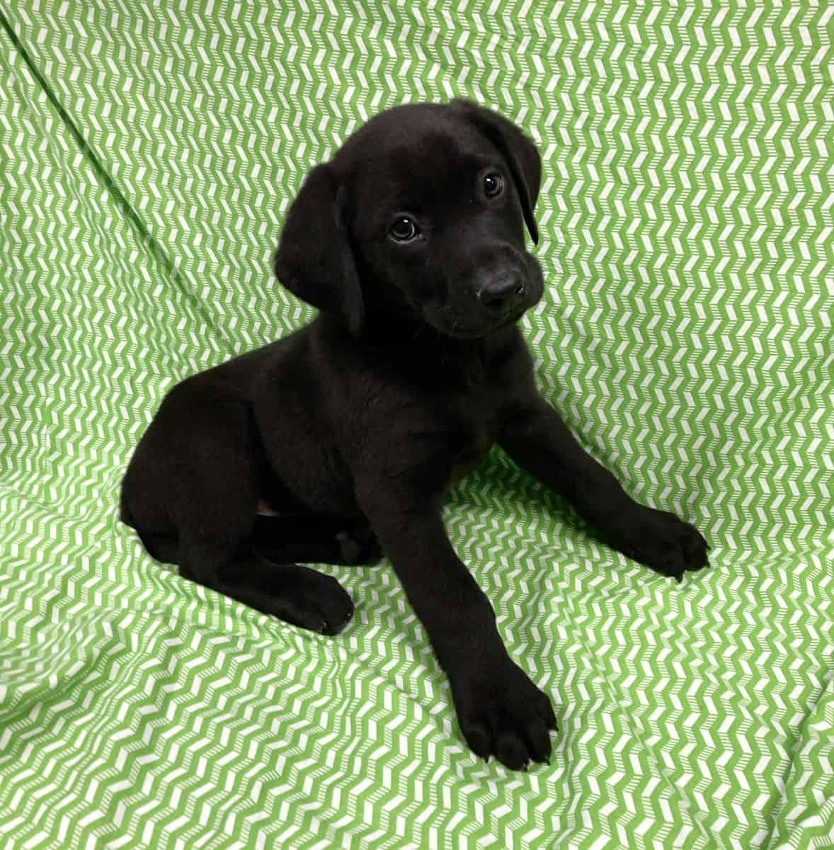 Labrador Retriever-Sold!